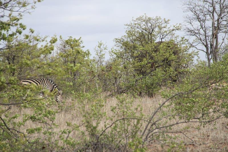 Cebra y elefante que ocultan en el arbusto, parque nacional de Kruger, Suráfrica fotos de archivo