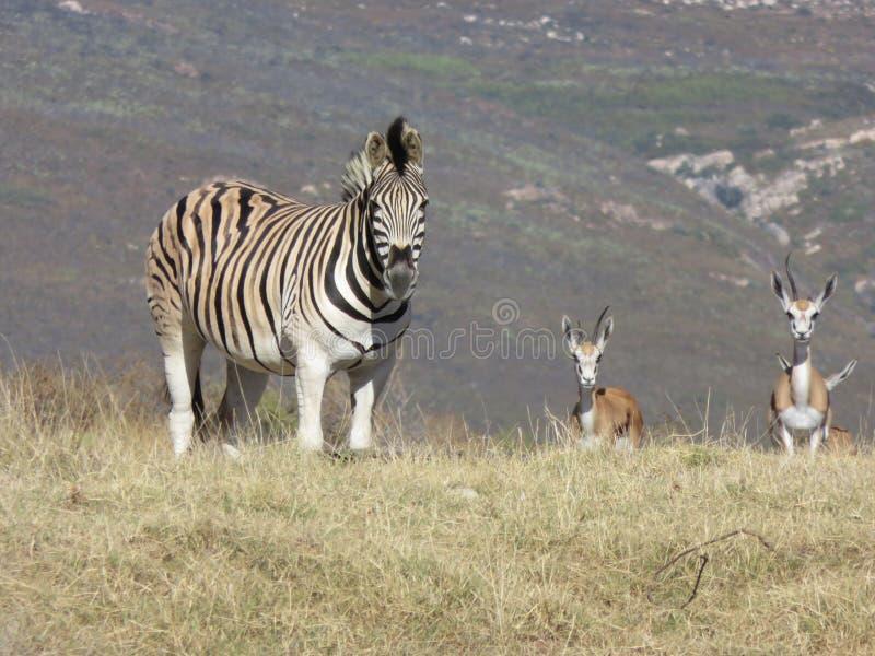 Cebra y gacelas en África imagen de archivo libre de regalías