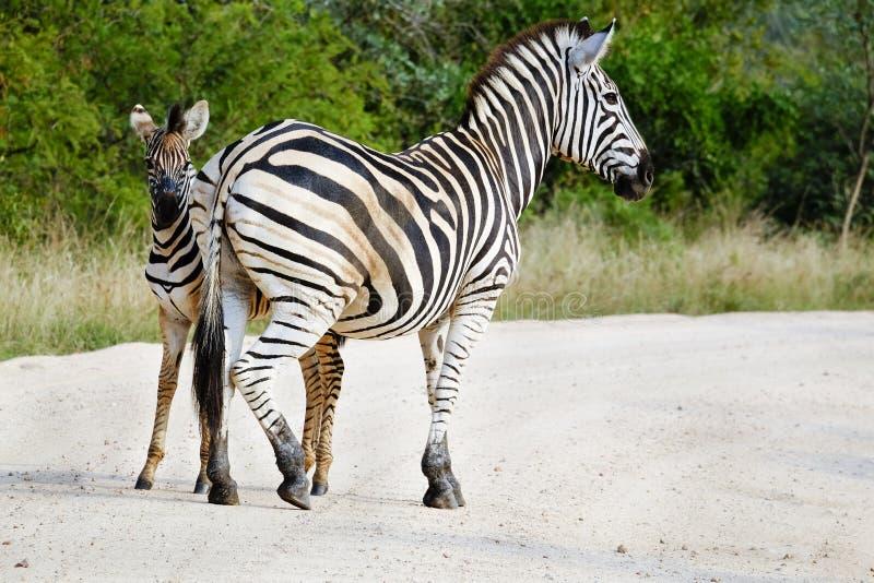 Cebra y potro africanos adultos en el salvaje fotografía de archivo