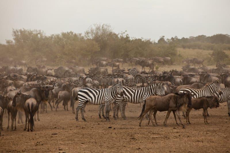 Cebra y wildebeest fotos de archivo