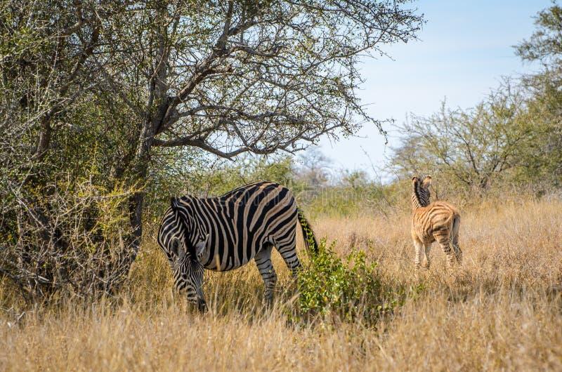 Cebras con las rayas blancas hermosas en la hierba Parque nacional de Kruger, animales del safari de Suráfrica imagen de archivo libre de regalías
