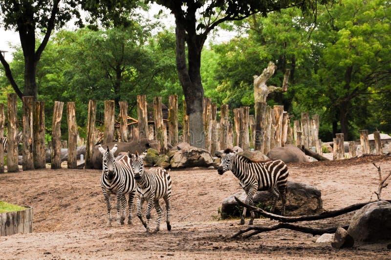 Cebras corrientes fotos de archivo