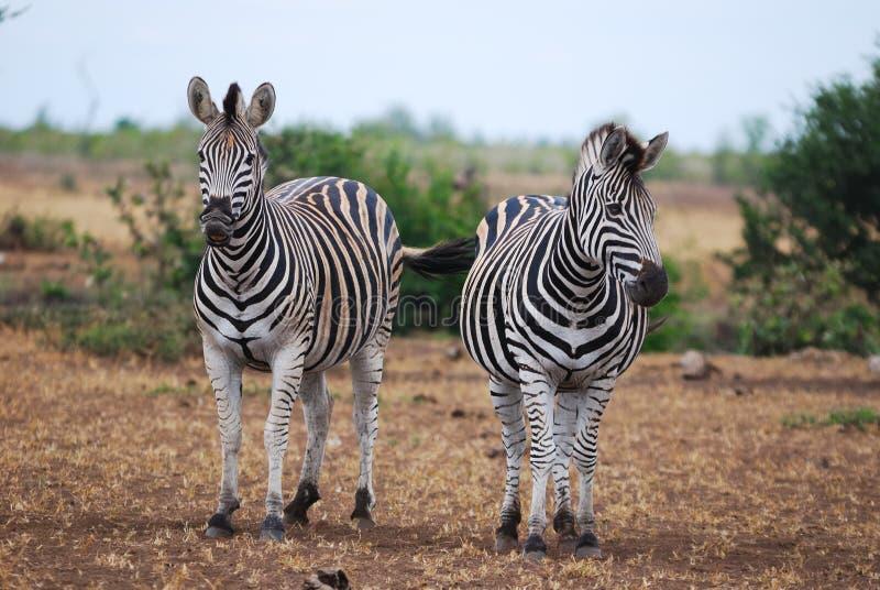 Cebras de Burchell (burchellii del Equus) imagen de archivo libre de regalías