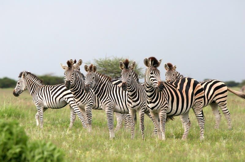 Cebras de Burchell de la manada foto de archivo libre de regalías