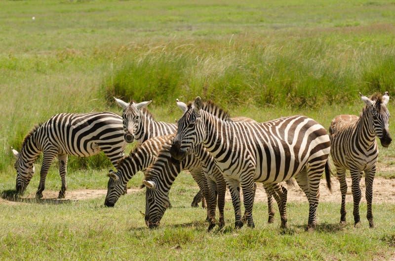 Cebras en Aberdare, Kenia foto de archivo