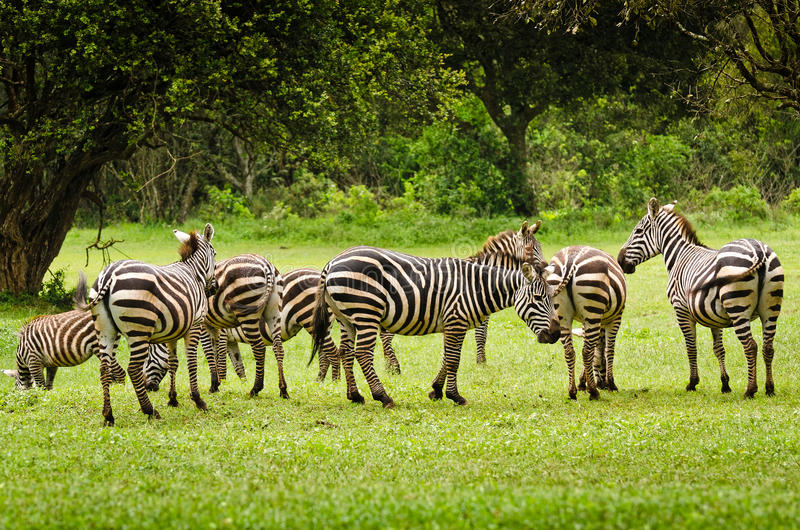 Cebras en Aberdare, Kenia fotografía de archivo
