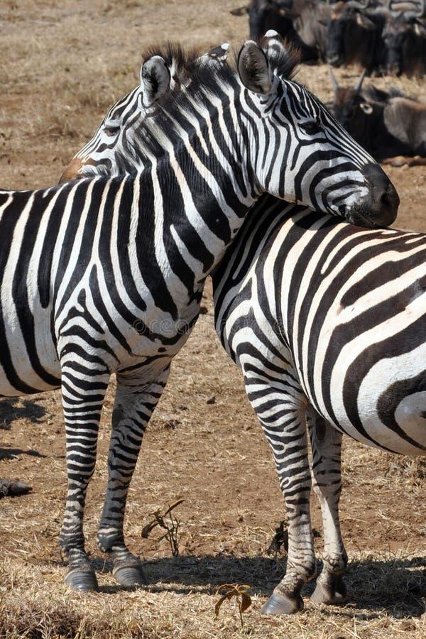 Cebras en amor fotos de archivo