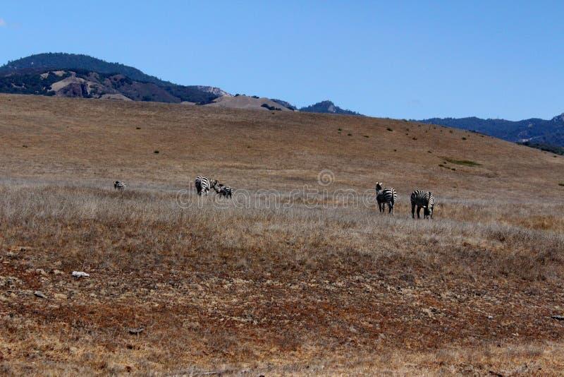 Cebras en California fotos de archivo
