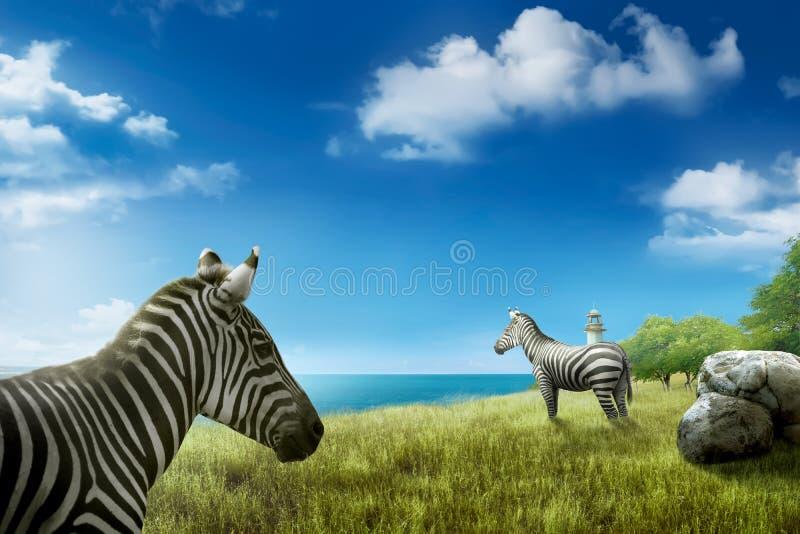 Cebras en el campo de hierba verde fotos de archivo libres de regalías