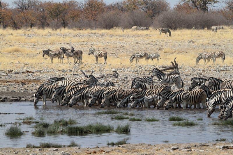 Cebras en el parque nacional de Etosha en Namibia imágenes de archivo libres de regalías