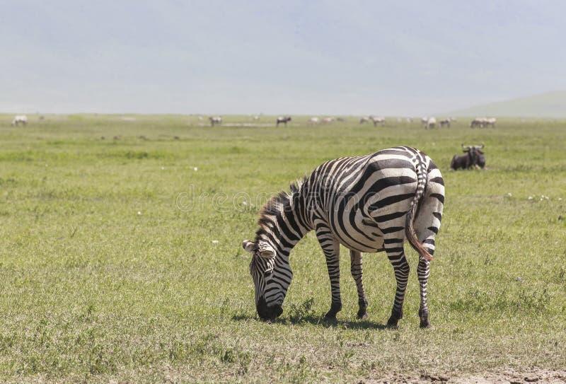 Cebras en el parque nacional de Ngorongoro, Tanzania imagen de archivo libre de regalías