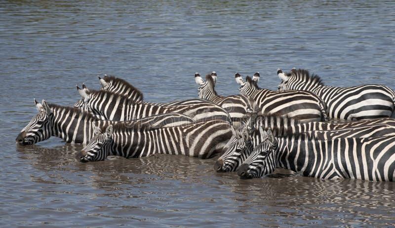 Cebras en el parque nacional de Serengeti, Tanzania fotografía de archivo