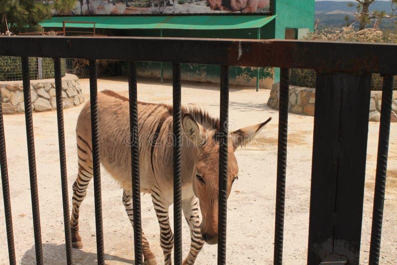 Cebras en el parque zoológico fotos de archivo