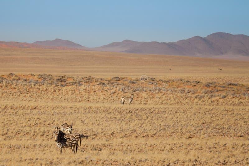 Cebras en la sabana delante de las montañas, Namibia imagen de archivo libre de regalías