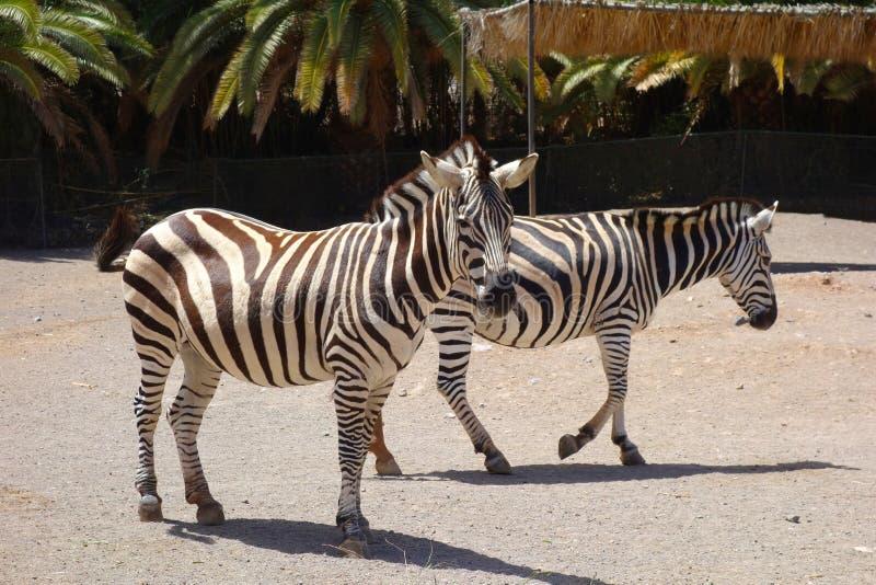 Cebras en parque zoológico de la isla de Fuerteventura fotos de archivo