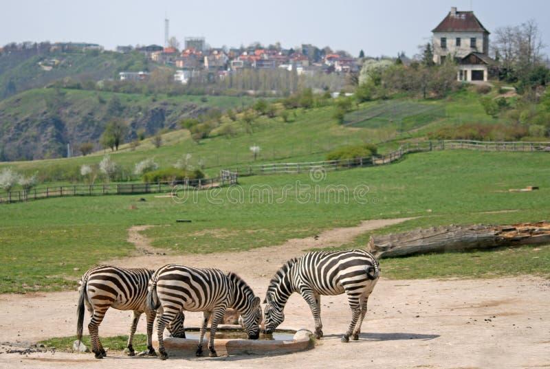 Cebras en un parque zoológico foto de archivo