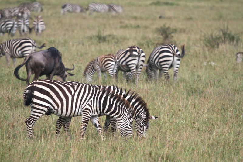 Cebras que comen la hierba imagen de archivo