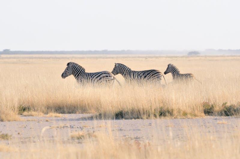 Cebras que corren en la cacerola de Etosha, Namibia fotografía de archivo