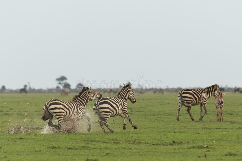 Cebras que corren en los prados imagen de archivo