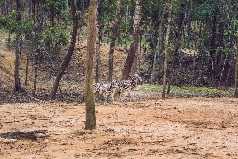 Cebras que corren a través de las cebras del bosque en el ambiente natural fotografía de archivo libre de regalías