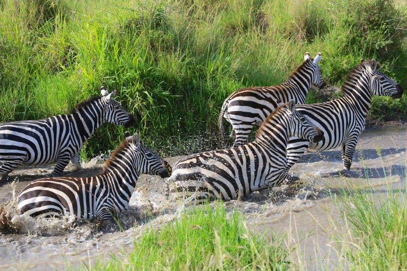 Cebras que cruzan un río en el masai Mara fotos de archivo libres de regalías