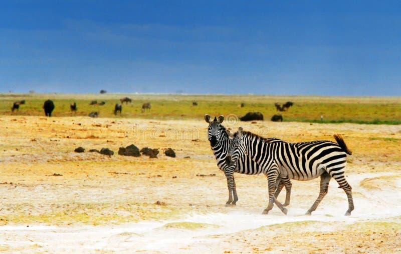 Cebras salvajes africanas imagenes de archivo