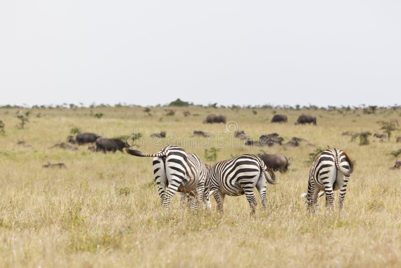 Cebras y búfalos en Kenia imagen de archivo libre de regalías