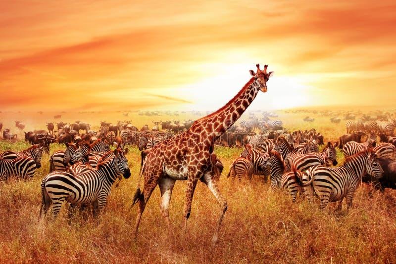Cebras y jirafa africanas salvajes en la sabana africana Parque nacional de Serengeti Fauna de Tanzania Imagen artística foto de archivo libre de regalías
