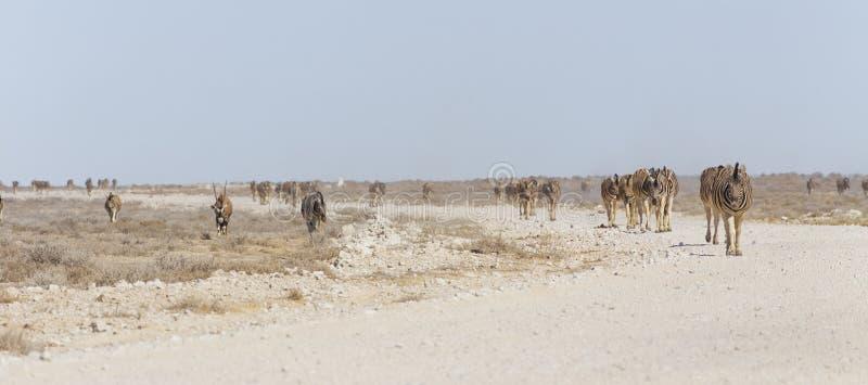 Cebras y oryxes en Namibia imagenes de archivo