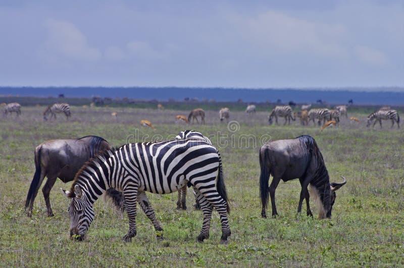 Cebras y Wildebeest que pastan en los llanos de Serengeti fotografía de archivo
