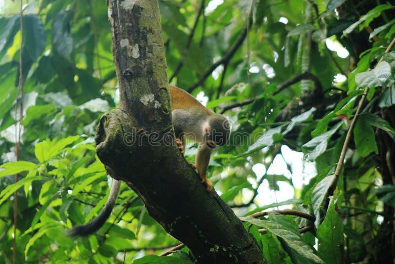 Cebuella pygmaea、手指猴子、pygmee猴子或者最小的猴子在世界上坐一棵树在热带雨林 库存照片