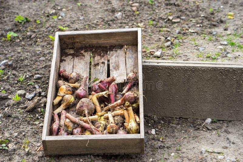 Cebula, czerwone cebule i beetroot, obrazy stock