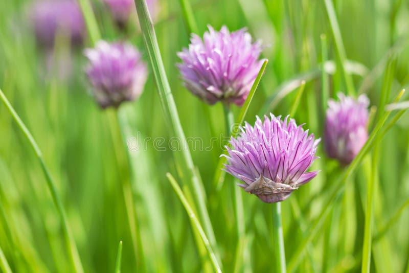 Cebulkowi kwiaty zdjęcie royalty free