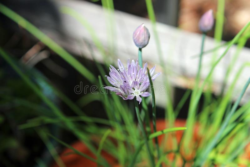 Cebulkowy szczypiorku okwitnięcie zdjęcie stock