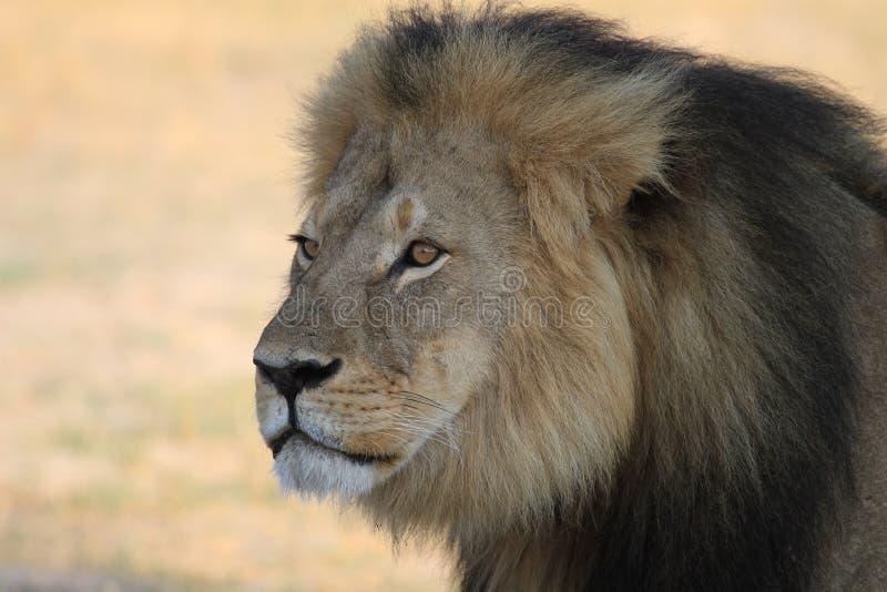 Cecil το λιοντάρι Hwange στοκ φωτογραφία με δικαίωμα ελεύθερης χρήσης