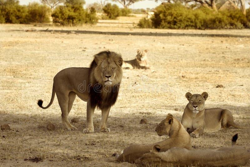 Cecil il leone con il suo orgoglio nel parco nazionale di Hwange immagini stock libere da diritti