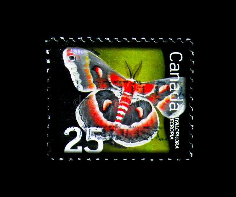 Cecropia ćma, Korzystny insekt Definitiv (Hyalophora cecropia) obrazy stock