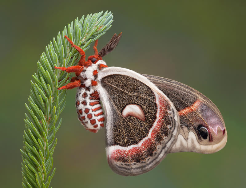 Cecropia moth on pine. A cecropia moth is hanging on to a pine branch royalty free stock image