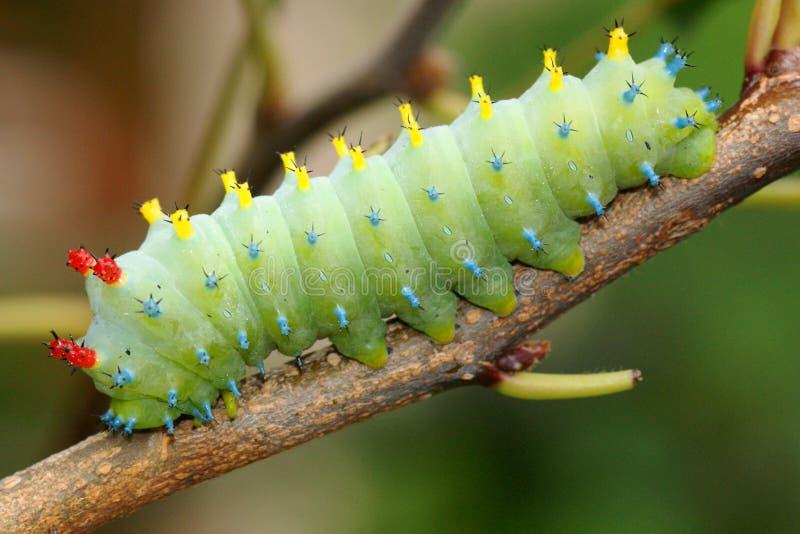 Cecropia-Mottengleiskettenfahrzeug, Hyalophora Cecropia stockfotos
