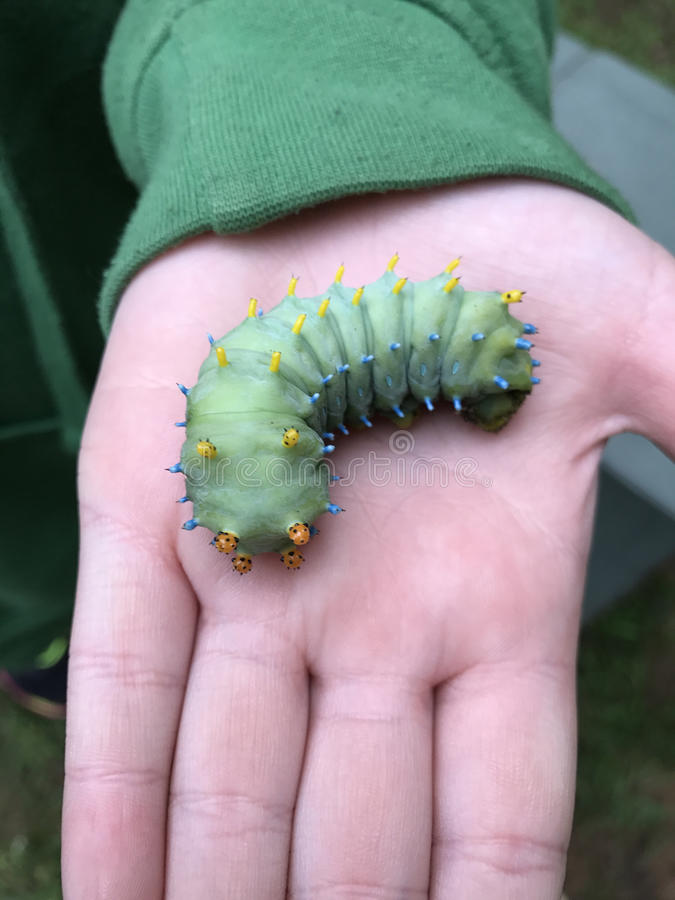 Cecropia o Hyalophora Caterpillar immagine stock