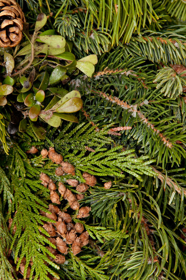 Download Cedar stock image. Image of green, cones, boughs, christmas - 17299223