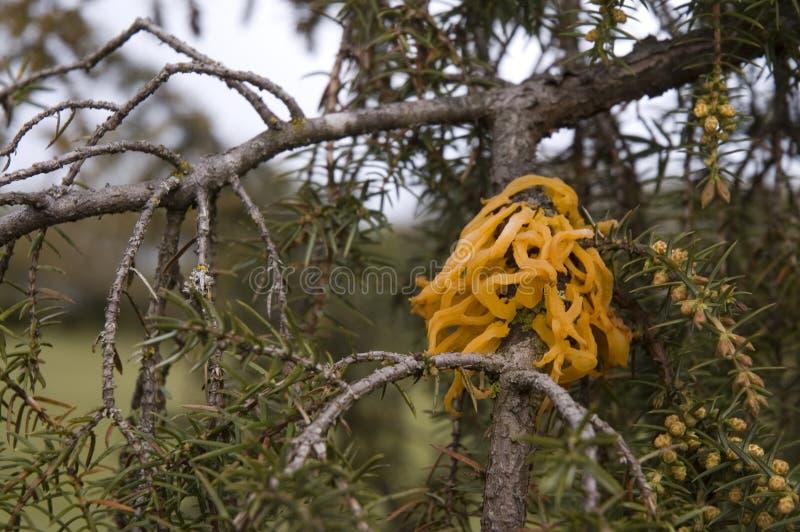 Cedar-apple rust. Bright orange tentacles of cedar-apple rust on a branch of a juniper shrub stock photography