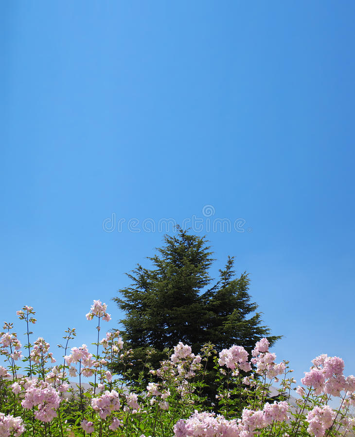 Download Cedar Behind Pink Flowers stock image. Image of coniferous - 10569771