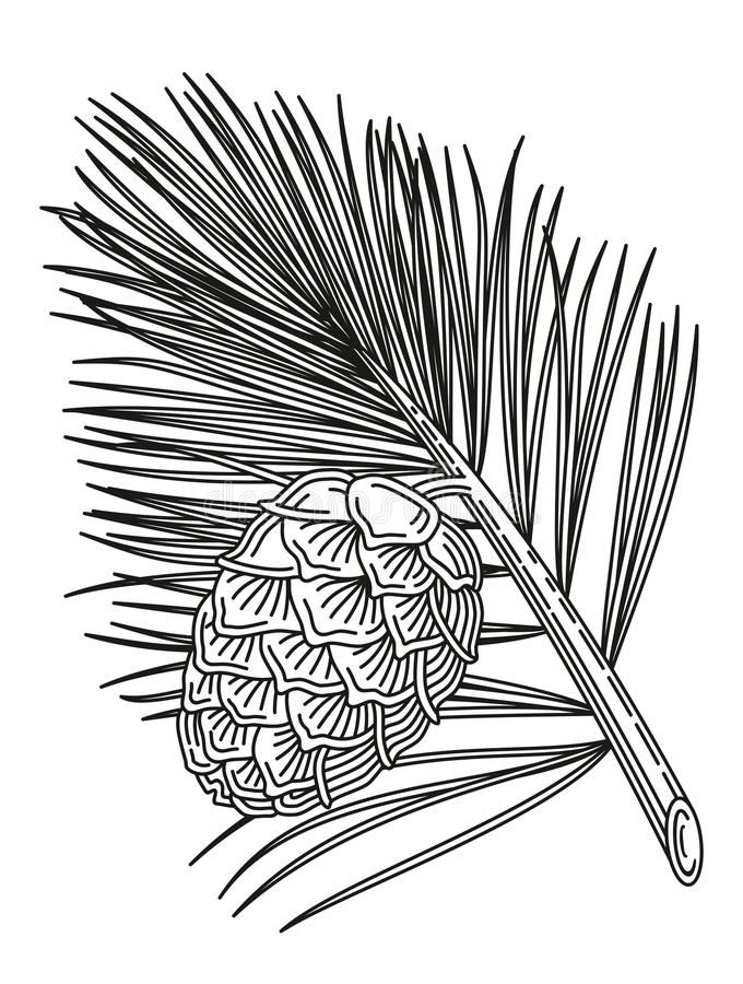 Cedar branch with cone. Illustration of pine branch with cone in the style of an engraving stock illustration