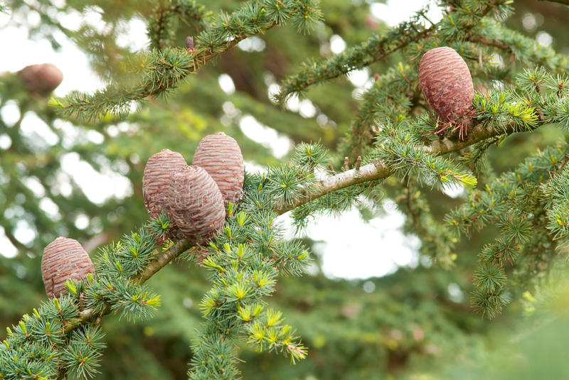 Cedar Branches Royalty Free Stock Photo