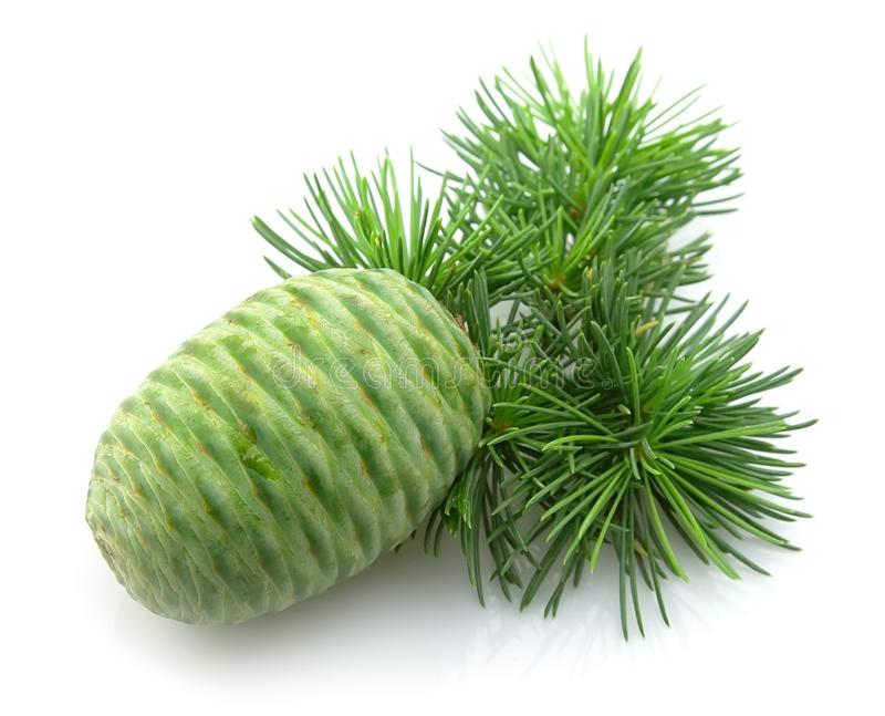 Download Cedar with the cone stock image. Image of flora, cone - 21980683