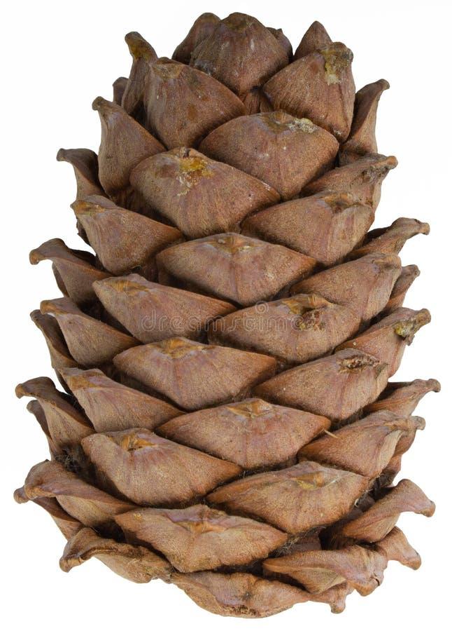 A cedar cone stock image