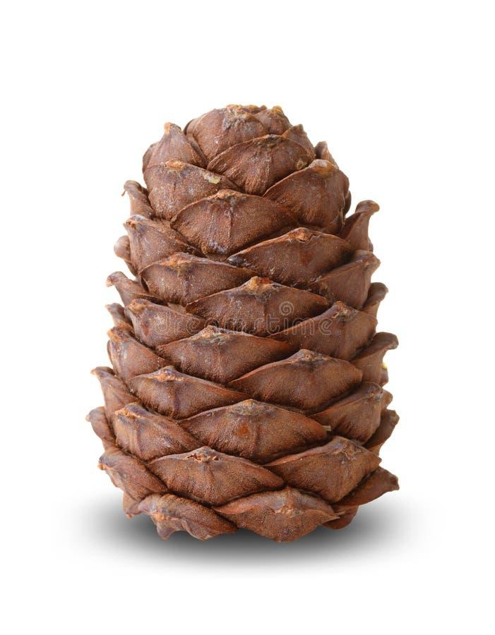 Cedar cone isolerad royaltyfria foton