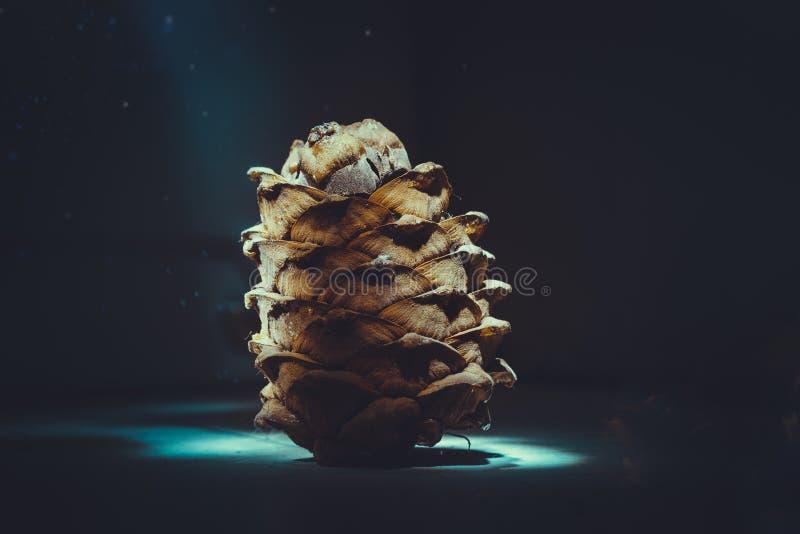 Cedar cone royalty free stock photos