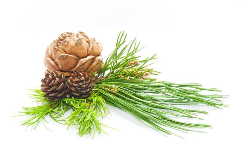 Cedar cones royalty free stock image